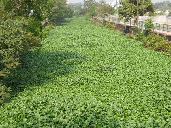 African Payal at Canoli Canal, Calicut