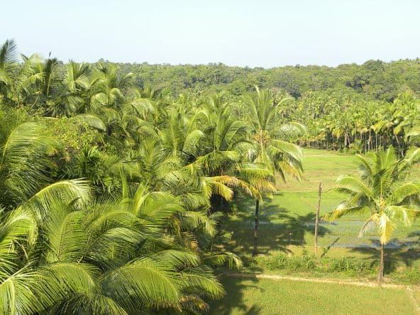 Coconut Trees in Kerala