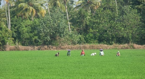 Paddy Fields at Kerala