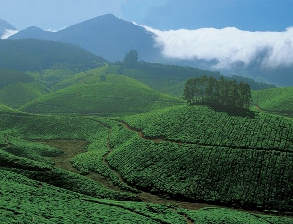 Tea Estate, Munnar