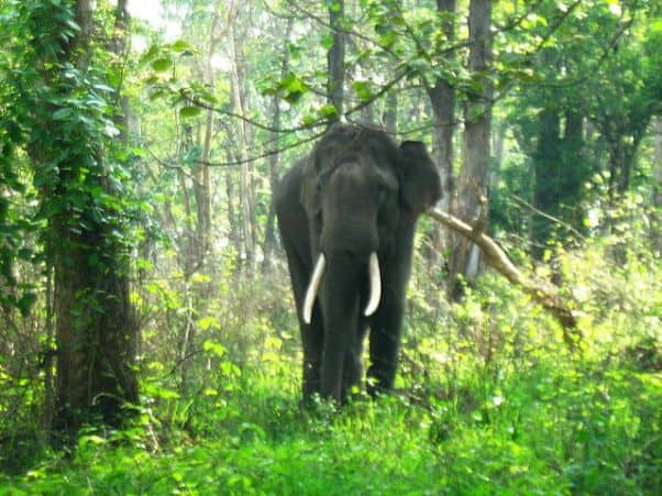 A loner: Out of the elephant herd!
