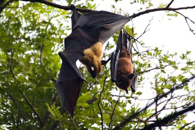 Indian Flying Fox at Mangalavanam Bird Sanctuary