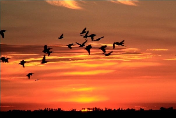Birds Flying back home..at sunset