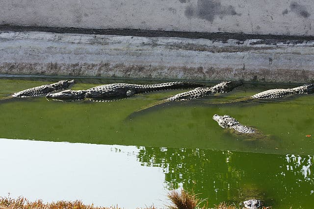 Crocodiles at Neyyar