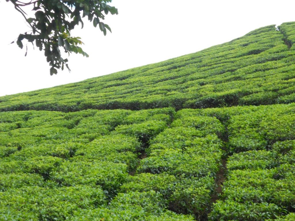 Tea plantations at Thakkedy