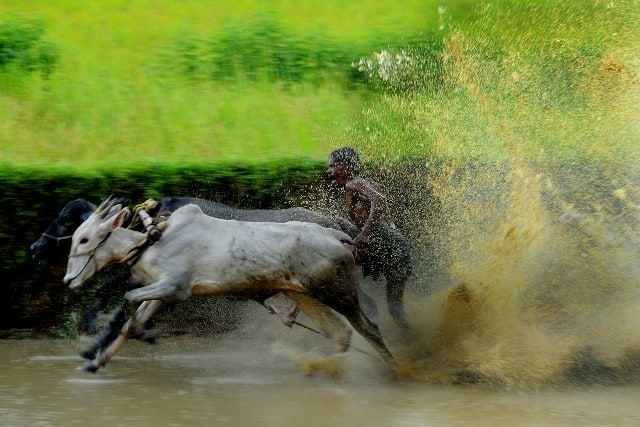 Kaalapoottu, OX Race in Kerala