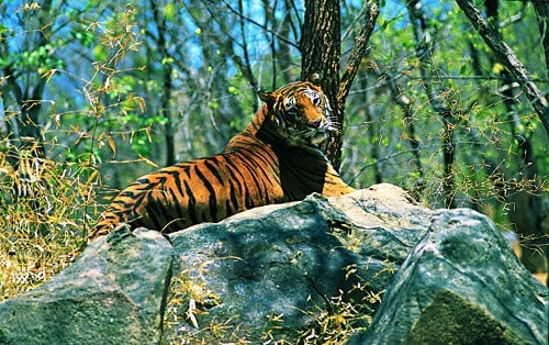 Tiger at Wayanad Sanctuary