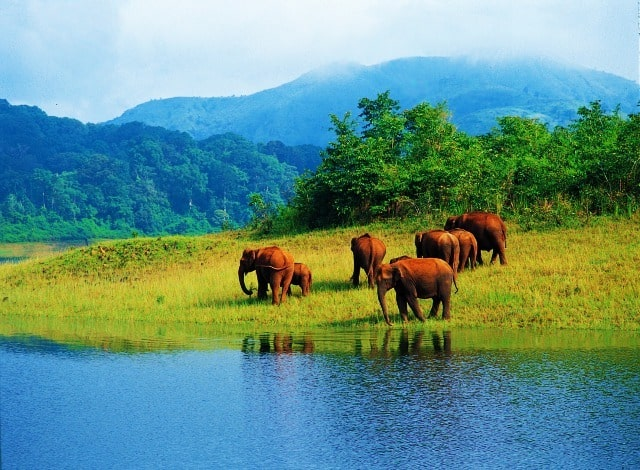 Elephant Herd at Thekkady