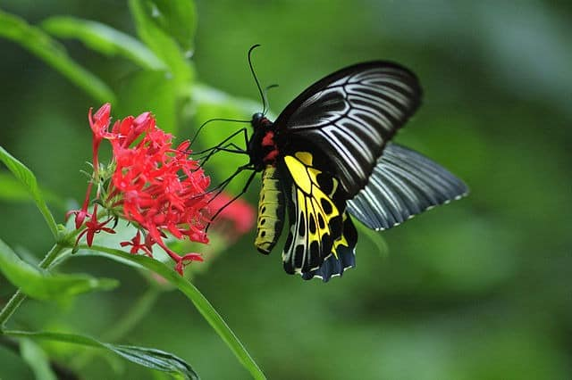 Southern Birdwing at Chimmini Wildlife Sanctuary