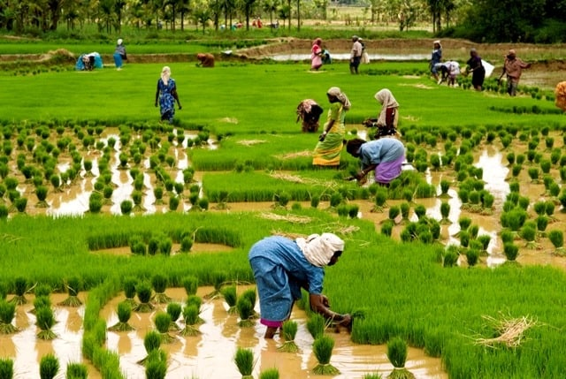 Workers in a Paddy Field