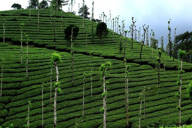 Tea Gardens Kerala