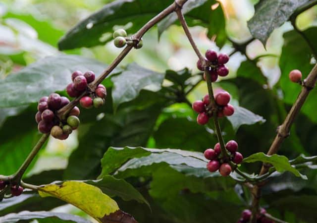 wayanad coffee