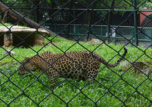 Cheetah inside cage at Trivandrum Zoo