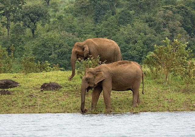 Elephants at Thekkady