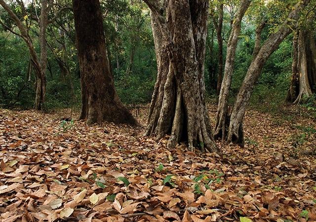 Arippa Forest