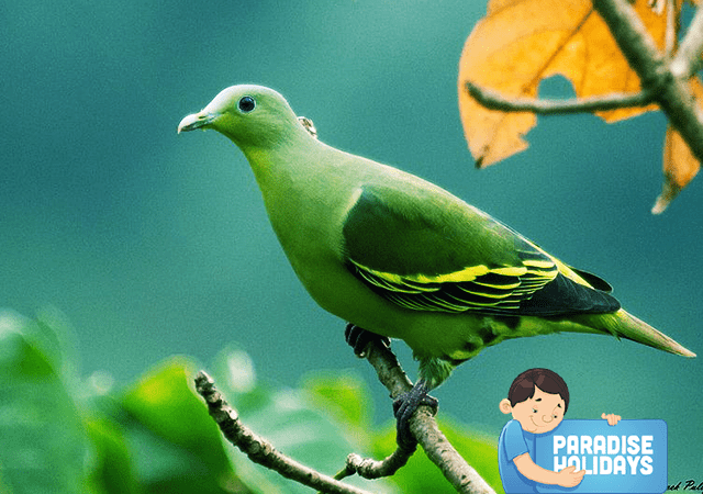 Grey fronted Green Pigeon at Kakkadampoyil