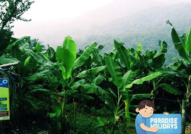 Kakkadampoyil Banana Plantation