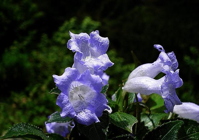 Bell Shaped Flower-Neelakurinji