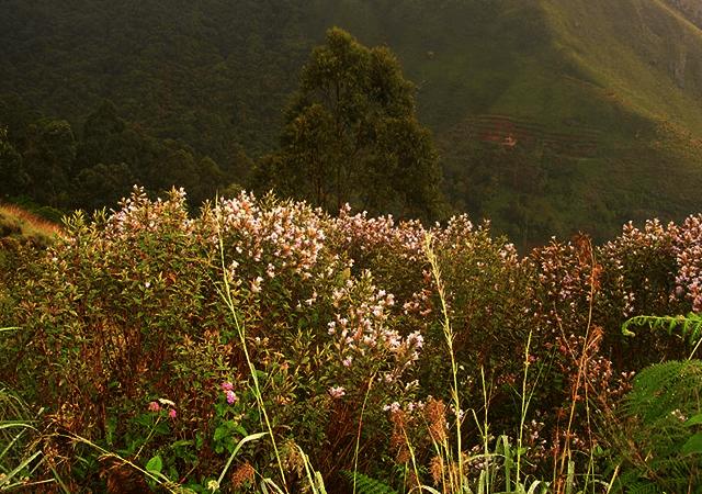 Neelakurinji Hill